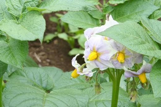 Ca dai hoa trang   Solanum torvum Swartz